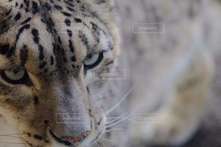 白ヒョウ 動物園の写真・画像素材[1196138]