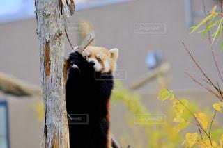 レッサーパンダの写真・画像素材[1196139]