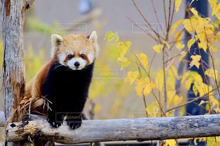 可愛いレッサーパンダの写真・画像素材[1196140]
