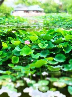 初夏の蓮池の写真・画像素材[1183198]