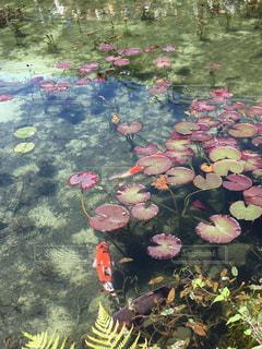 日本のモネの池の写真・画像素材[1183602]