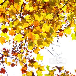光と紅葉の写真・画像素材[1201283]