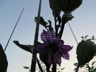 ナスの花の写真・画像素材[1186302]