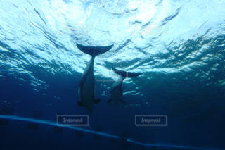 水面を泳ぐイルカの写真・画像素材[1274308]