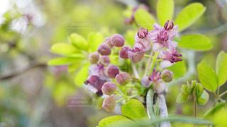 アケビの花の写真・画像素材[3082670]