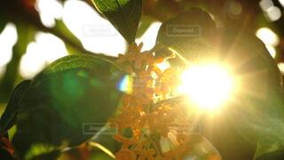 朝日に照らされたキンモクセイの花の写真・画像素材[3854681]