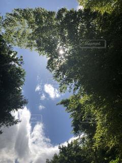 森の大きな木の写真・画像素材[1190946]