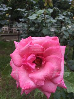 ピンクの薔薇の写真・画像素材[1219116]