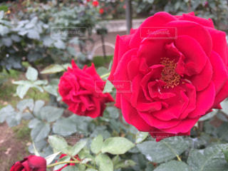 真っ赤な薔薇の写真・画像素材[1219414]
