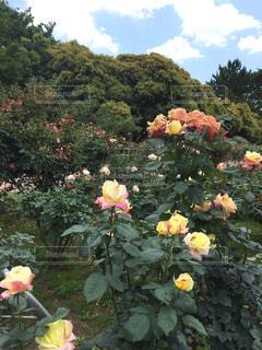 薔薇の花セットの写真・画像素材[1219547]