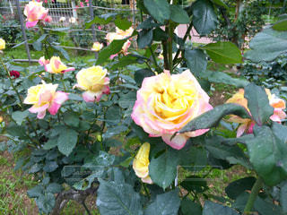 バラ祭りの写真・画像素材[1219608]