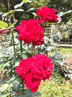 赤いバラの写真・画像素材[1219620]