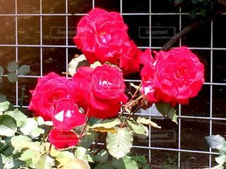 赤いバラの写真・画像素材[1219624]