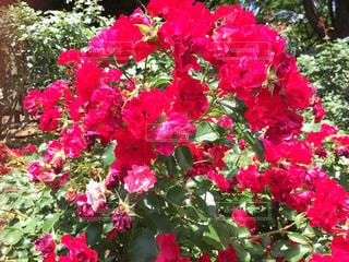 薔薇の花の写真・画像素材[1219625]