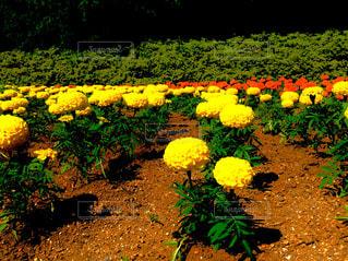 黄色の花の写真・画像素材[1378413]