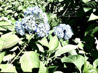 紫陽花の写真・画像素材[1378418]
