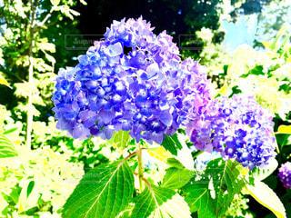 あじさいの花の写真・画像素材[1378420]