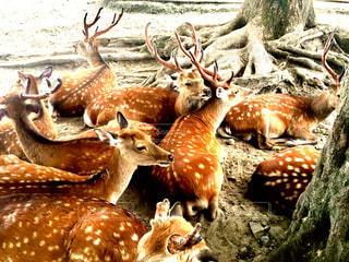 鹿の夏バテの写真・画像素材[1384982]