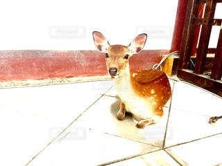 見つめる子鹿の写真・画像素材[1384984]