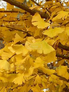 いちょうの葉っぱの写真・画像素材[1608842]