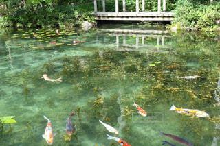 モネの池の写真・画像素材[1409270]