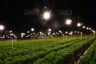 沖縄の電照菊の写真・画像素材[1804217]
