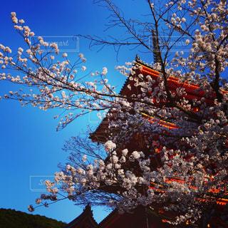 桜の写真・画像素材[1185152]