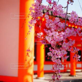 桜と朱門の写真・画像素材[1185155]