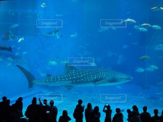 ジンベイザメの写真・画像素材[1184805]