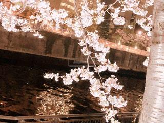 桜の写真・画像素材[1214753]