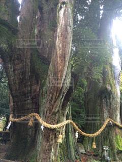 森の大きな木の写真・画像素材[1184879]
