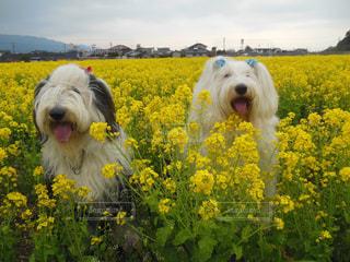 菜の花畑の写真・画像素材[1187353]