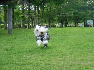 芝生のフィールドで犬の写真・画像素材[1187421]