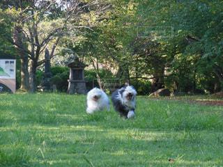 芝生の庭で犬の写真・画像素材[1187422]