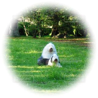 緑豊かな緑のフィールドの上に座っている犬の写真・画像素材[1187424]