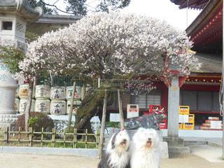 飛び梅が満開です。の写真・画像素材[1187561]