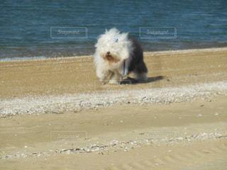 ビーチの上を歩く犬の写真・画像素材[1187563]
