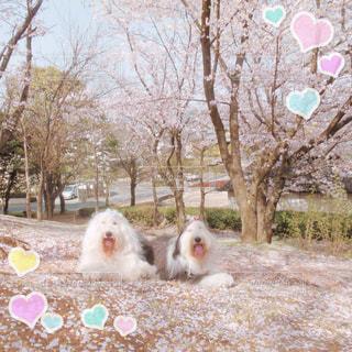 花びらの絨毯🌸の写真・画像素材[1189150]