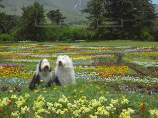 フィールド内の黄色の花の写真・画像素材[1189431]