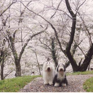 桜花吹雪🌸の写真・画像素材[1189450]