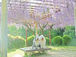 藤の花綺麗の写真・画像素材[1190179]