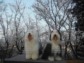 桜と一緒🌸にの写真・画像素材[1191143]