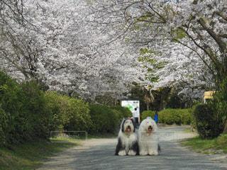 桜のトンネル🌸の写真・画像素材[1191144]