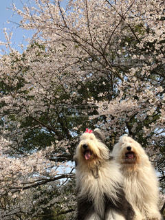 桜満開🌸の写真・画像素材[1191145]