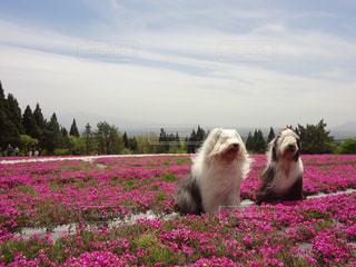 芝桜と犬の写真・画像素材[1200817]
