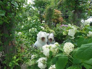 白い紫陽花の写真・画像素材[1216296]