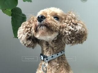 外を見る犬。の写真・画像素材[1450092]