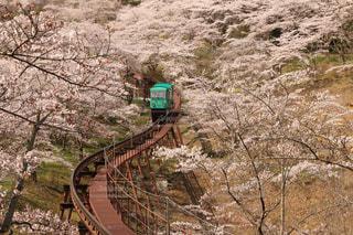 降りの桜 - No.1187396