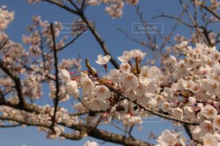 桜 - No.1187400