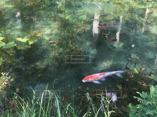 モネの池の鯉の写真・画像素材[1808053]